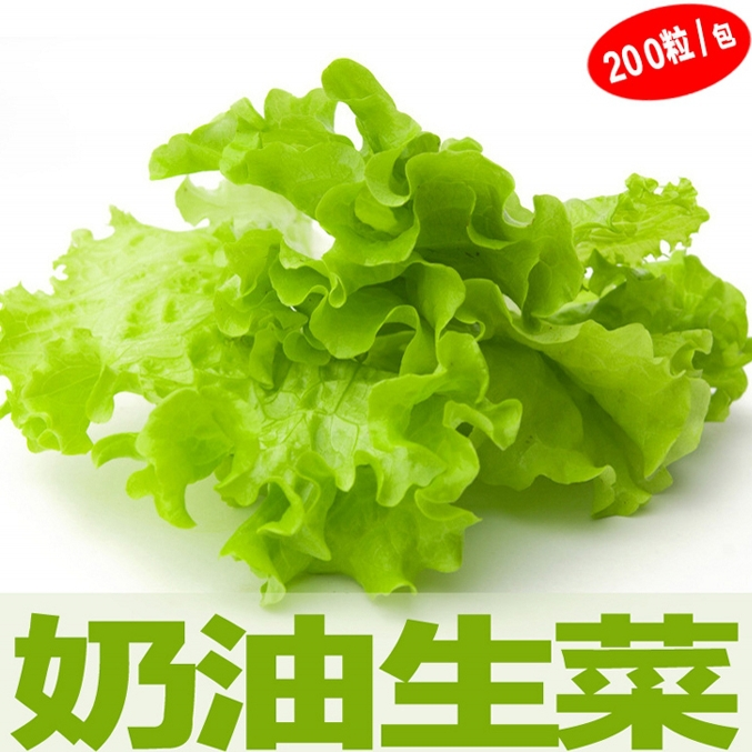 20seeds/bag super soft butter lettuce seeds raw vegetables and potted vegetable seed balcony Spring sowing(China (Mainland))