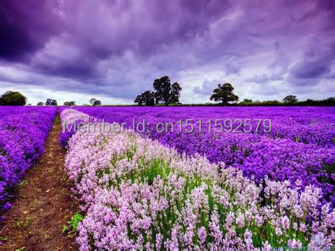1 Pack 20 Seeds Purple Lavender Seed Flower DIY Home Gardening IZ0010 - seeds Princess store