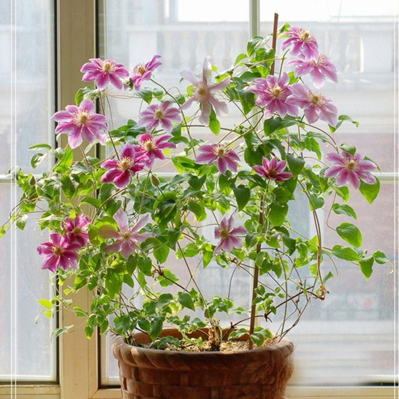 300 pcs red clematis seed patio and garden plants potted flowers beautiful clematis climbing - Potted gardentricks beautiful flowers ...