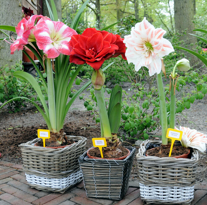 Amaryllis seeds, free shipping cheap Amaryllis seeds, Barbados lily potted seed, Bonsai balcony flower - 100 pcs/bag(China (Mainland))