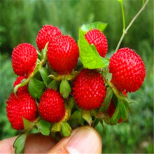 Buy Fruit seeds Bonsai Indian strawberry Tree Seeds rare fruit bonsai tree red delicious Indian strawberry seeds garden 50 pcs W072 for $1.09 in AliExpress store