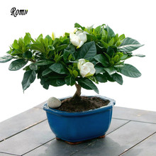 100 Gardenia Seeds (cape Jasmine)-diy Home Garden Windowsill Potted Bonsai Amazing Smell & Beautiful Flowers Gift Free Shipping(China (Mainland))