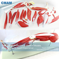 CMAM MUSCLE18 New 23 Parts Human Leg Muscle Anatomy Model for Hospital School Education
