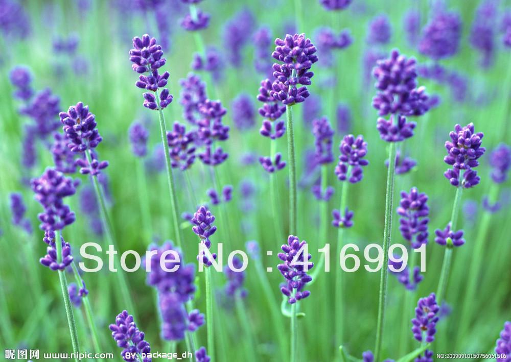 Wild Plant Dried Lavender Flower (Lavandula Angustifolia)  100g;   Secret Gift + Free Shipping!