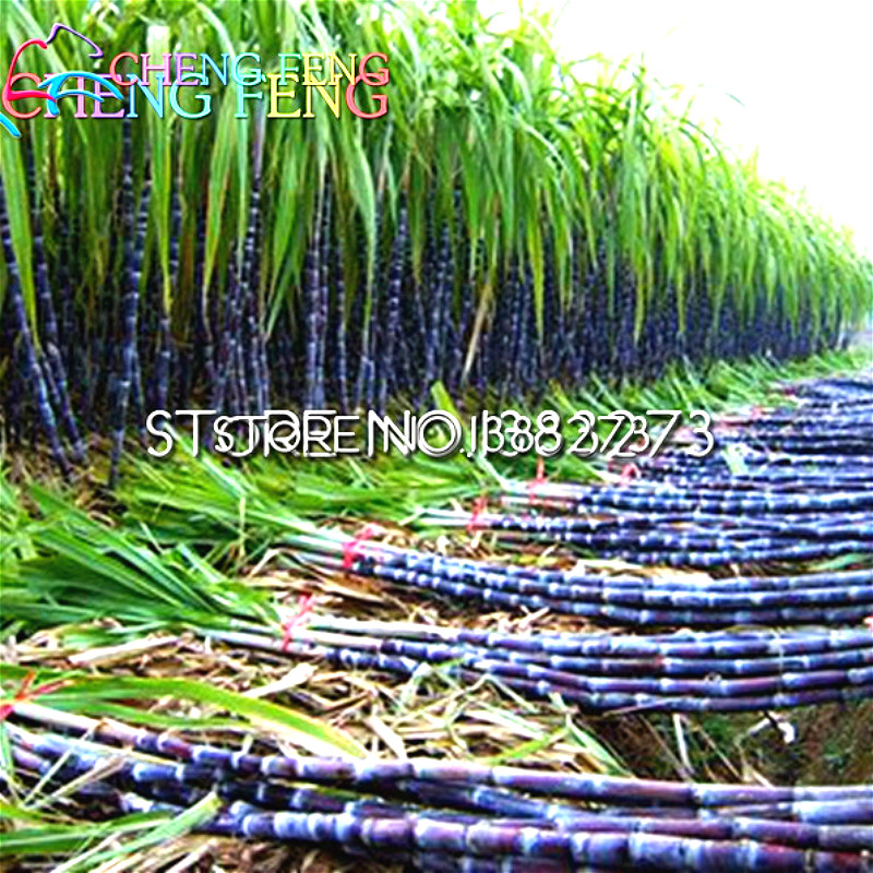 50pcs Vegetable And Fruit Seeds Sugar Cane Seeds Sugarcane Seed Bonsai Plants Seeds For Home & Garden Rich In Vitamin Fruits(China (Mainland))