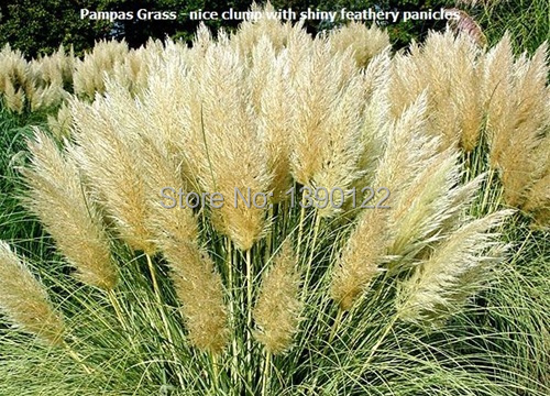 1200 PCS package PAMPAS GRASS seeds rare reed flower seeds for home garden planting Selloana Seeds