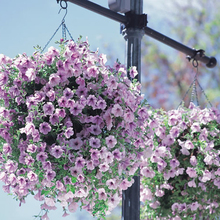 Hanging petunia seed sowing summer and autumn seasons indoor balcony easy to plant flower seeds potted seeds 100 seeds(China (Mainland))