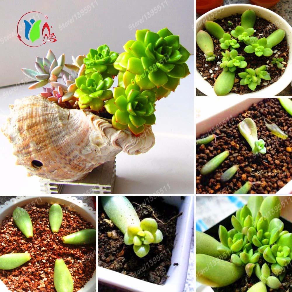 True succulent bulbs not seeds decoration desk bonsai for Bonsai de jardin