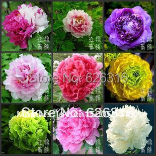 5 pcs pour chaque couleur total 120 pcs lot24 sortes de couleurs de pivoine fleur en pot. Black Bedroom Furniture Sets. Home Design Ideas