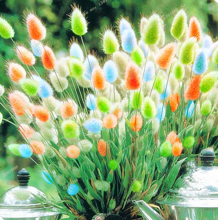 2016 new, a variety of color mixing of rabbit tail The grass seeds, 100 PCS/bag, ornamental grass, light up your manor(China (Mainland))