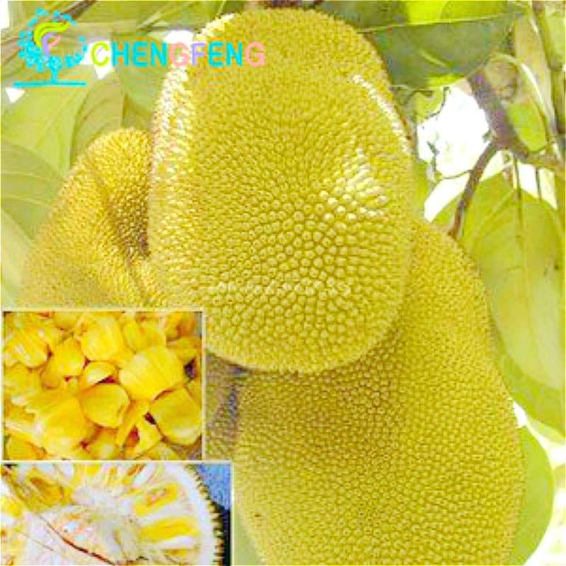 Tropical china seeds 5pcs a lot jackfruit seed rare giant for Arbre fruitier