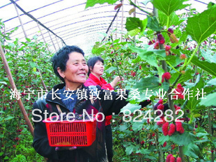 Shanxi 8632 fruit Mulberry baby tree GROW YOUR OWN PLANT