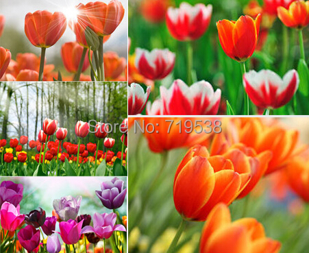 tulip petals tulip seeds potted indoor and outdoor potted plants purify the air 2 seeds(China (Mainland))