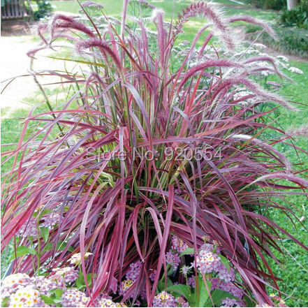 20pcs/lot Half-hardy Perennial Pennisetum setaceum 'Fireworks' Fountain Grass Seeds bonsai plant home garden free shipping(China (Mainland))