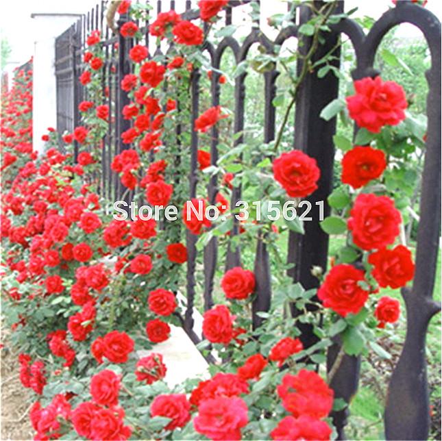 Red Climbing Plant Polyantha Rose Seeds DIY Home Garden Courtyard Pot Flower 100pcs Free Shipping(China (Mainland))