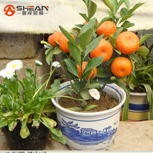 100pcs/bag Balcony Patio Potted Fruit Trees Planted Seeds Kumquat Seeds Orange Seeds Tangerine Citrus(China (Mainland))