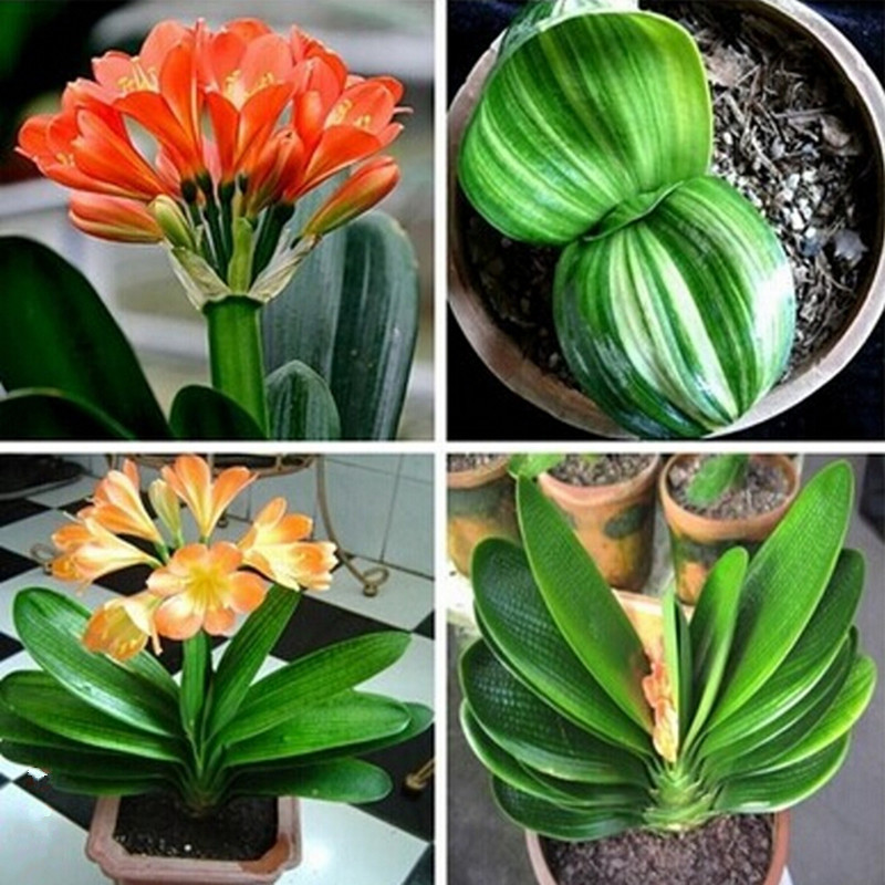 how to get clivia to bloom again