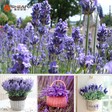 English Lavender Seeds, Lavender Angustifolia, Imported Vanilla Seeds of Native Species - 20 Pcs Seeds(China (Mainland))