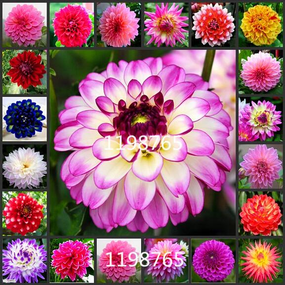 100/bag dahlia,dahlia flower Mixed Colors Dahlias Seeds For DIY Home Garden free shipping(China (Mainland))