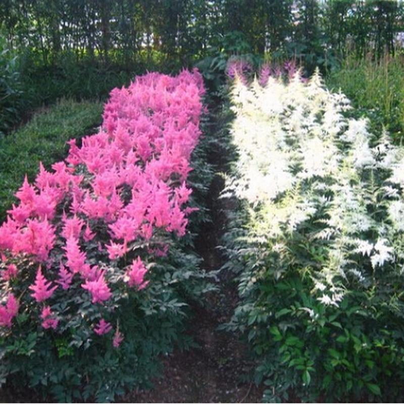 New product selling Chinese Astilbe Astilbe Chinensis 10pcs shipping Xi cathode hardy perennial herb(China (Mainland))