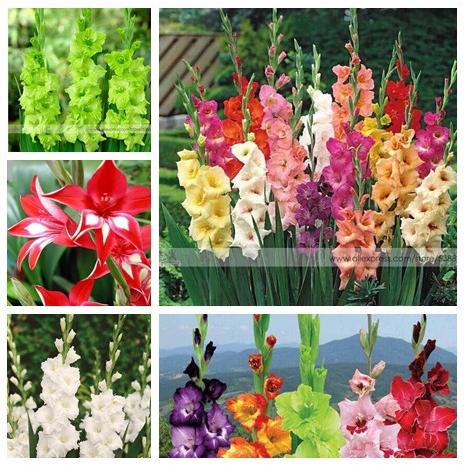 200pcs Gladiolus seeds, gladiolus flower seeds, 95% germination, DIY Aerobic potted plants, rare sword lily seeds, free shipping(China (Mainland))