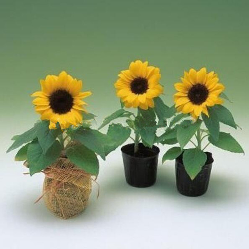 10 seeds/pack mini sunflower seeds Dwarf sunflower seeds sunflower plants garden decoration plant(China (Mainland))