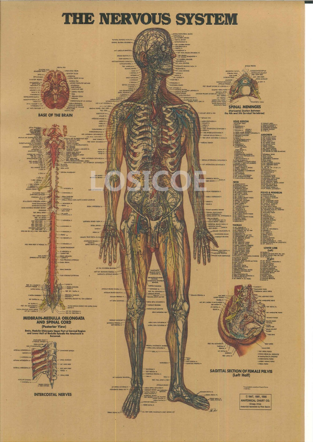 THE SKELETAL SYSTEM Vintage Posters Kraft Paper Painting Wall Sticker Print Art Hospital Classrooms Interior Decoration B(China (Mainland))