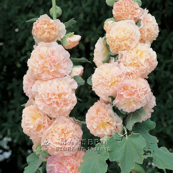 20Mixed Colors HOLLYHOCK COUNTRY ROMANCE MIX Alcea Rosea Flower Seeds~easy to gr(China (Mainland))