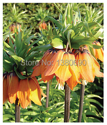 Hot Sale.30Seeds/Pack.Potted Perenniall Flower Seeds Aurora Fritillaria.DIY Home Garden Seeds,(China (Mainland))