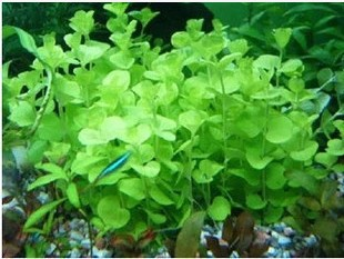 Green Money (pot) middle ground (mud plants planted aquarium tank fish supplies - Red kylin living museum store