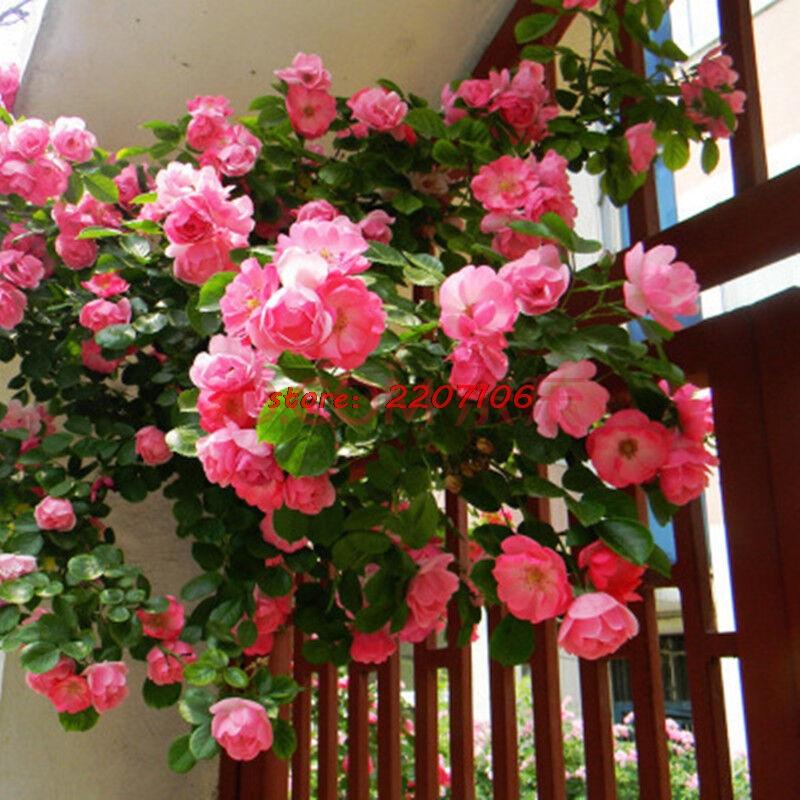 chwy Best Selling High Bonsai Purple Climbing Rose Seeds Free Home Garden 20 Seeds / bag
