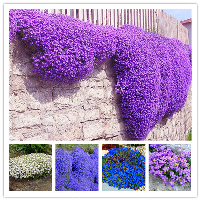 100 Aubrieta Cultorum Seeds For Drought Tolerant Rock Garden Of Villa Park In A Variety Of Places Perennial Ground Cover Plant(China (Mainland))
