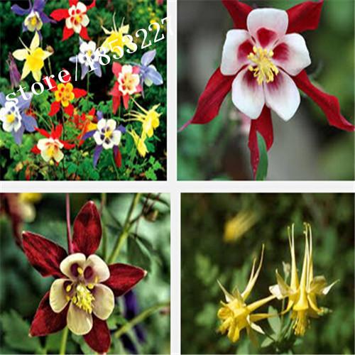 Hot Selling 100pcs Red Columbine Seeds, Aquilegia Seeds, Flower Seeds, Bonsai Flower DIY Pot Plant Home Garden Free Shipping(China (Mainland))