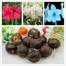 Buy 1 bulb/lot Amaryllis Bulbs,Hippeastrum Bulbs,3-5 cm diameter bonsai flower bulbs Barbados lily bulbous flowers potted plant for $1.40 in AliExpress store