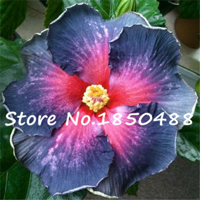 On Sale 200pcs Hibiscus seeds 24kinds HIBISCUS ROSA SINENSIS Flower seeds hibiscus tree seeds for flower