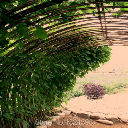 Free Shipping ! 100pcs BOSTON Ivy Seeds 100% Original japanese Creeper Seeds Green Grass Seed Anti-radiation ultraviolet ray