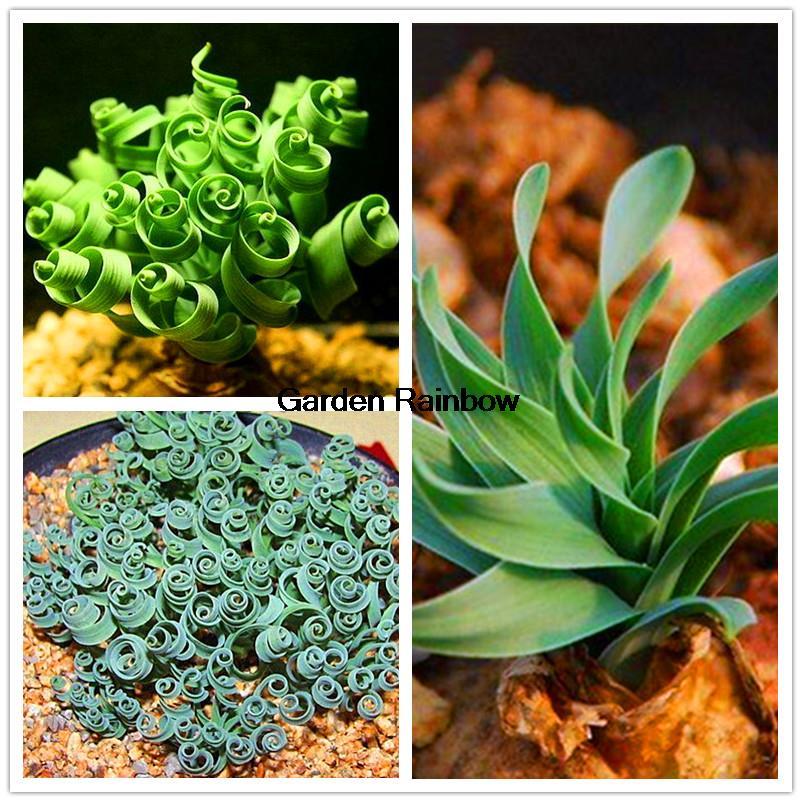 20pcs Latifolia Spring Grass KK Seeds, Succulent Bonsai Seed, Magic Spring Flowers Plants Garden Pot Plant DIY(China (Mainland))