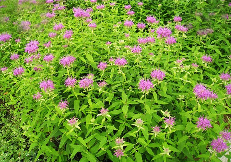 200 pcs Hot Sale Mint Seeds Balcony Potted Mint Beautiful Aromatic Plant Vegetable Seeds Air Purification Plant Seeds