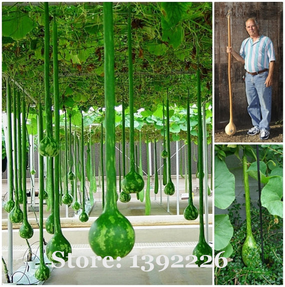 free shipping Long melon seeds, use as a container,bottles, or musical instruments, pumpkin seeds - 10 pcs/bag(China (Mainland))