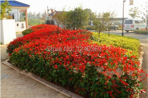 Preferred landscaping plants, red lip tree seeds, photinia ...