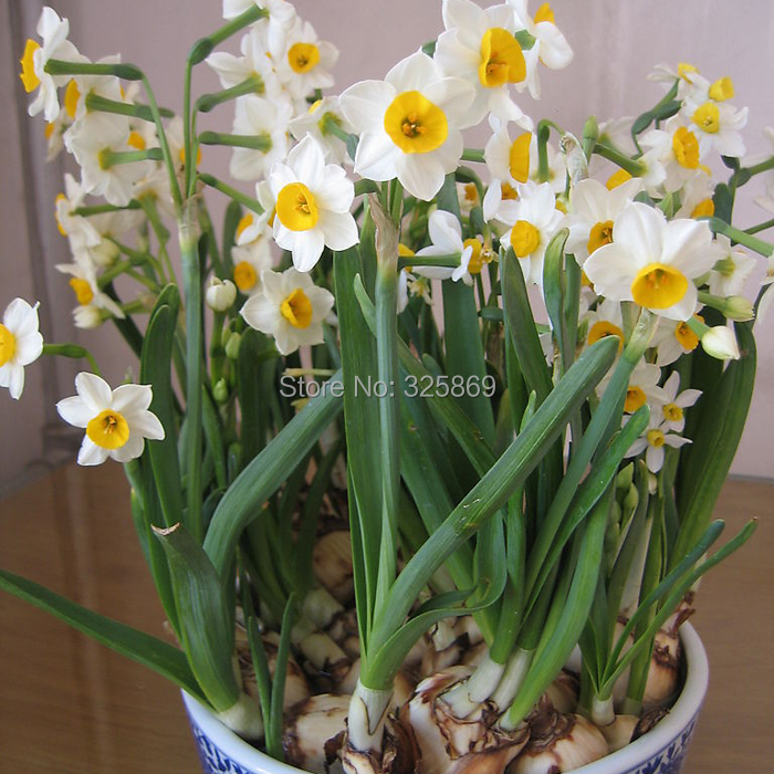European imports daffodil bulbs potted flowering plants hydroponic desktop more meat plants narcissus bulbs Package(China (Mainland))