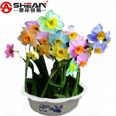 Rare Rainbow Potted Daffodils Perennial Flowering Plants Daffodil Seeds Absorption Radiation Narcissus Tazetta Seeds - 100 PCS(China (Mainland))