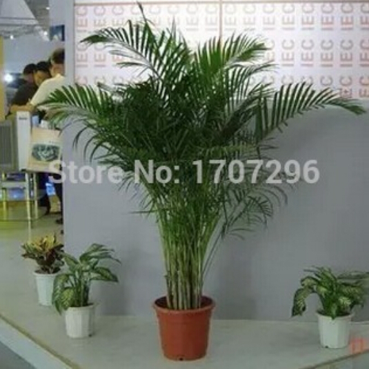 Living room indoor potted plants potted flowers, Pteris bamboo seeds - 1 pcs / lot(China (Mainland))