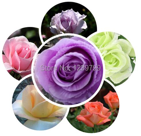 Home decoration Flower seeds rose Seeds, 200pcs sementes de flores for casa e jardim semillas de plantas with gift(China (Mainland))