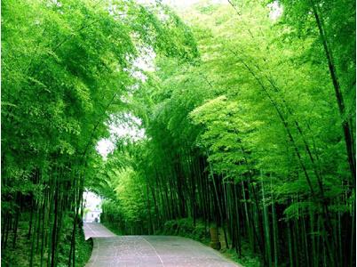 50 pcs/bag Chinese Bamboo Seeds,Perfect Ornamental DIY Home Garden Plant ,Edible Bamboo Shoots,FreeShipping(China (Mainland))
