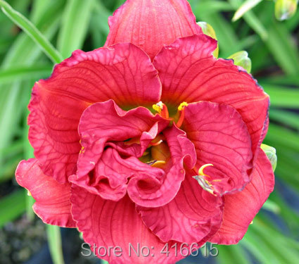 Day Lily Daylily Seeds Hemerocallis Variety is the Spice Seeds Pink Red Hemerocallis Fulva Day-lily Flower Seeds Ground Cover(China (Mainland))