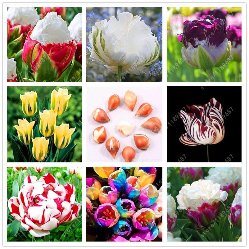 Tulpenbollen groothandel