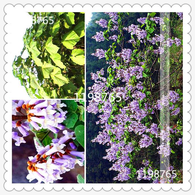 Free shipping 100pcs Paulownia Tomentosa seeds, beautiful tree seeds, Rare plants(China (Mainland))