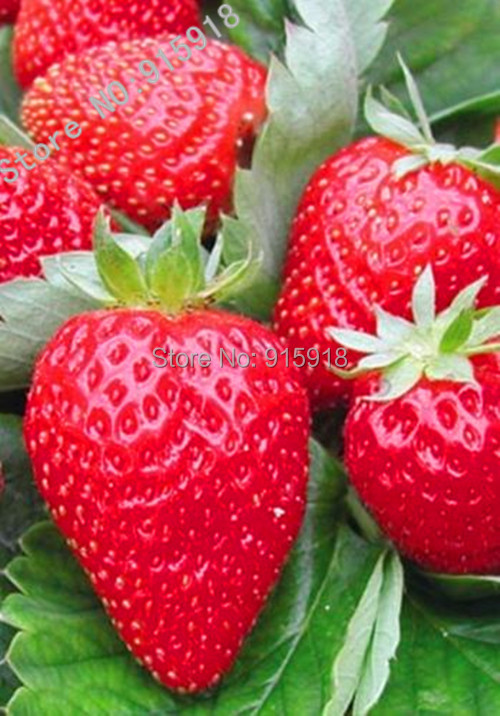 200pcs Japanese Hokowase Strawberry Fragaria Hokowase Seeds Indoor Outdoor Plant