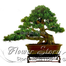 Buy Free.35 Podocarpus tree seeds Yacca tree Tree Seed, Evergreen Shrubs Potted Landscape GARDEN BONSAI TREE SEED for $3.99 in AliExpress store